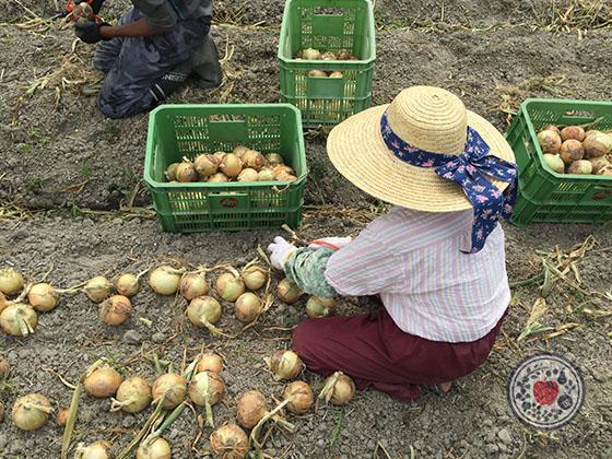淡路島の玉ねぎ_収穫風景
